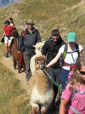 2Bereits den zweiten Sommer finden auf Torrent Alpaka-Trekkings statt!